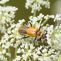 Some type of Soldier Beetle - Chauliognathus pensylvanicus