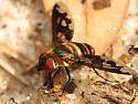 Beefly - Exoprosopa fascipennis