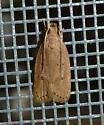 Kyoto Moth  - Autosticha kyotensis