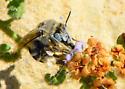 Nix Quick Bees - Anthophora urbana
