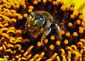 Santiago Oaks Bee for ID, #5 - Calliopsis rhodophila - female