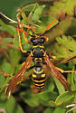 wasp with partially orange antennae - Polistes dominula