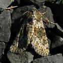 Small Ranunculus Moth - Hecatera dysodea