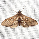 Assembly Moth - Hodges #5150 - Samea ecclesialis