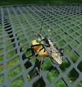 Wheel bug taking Panopoda caterpiller - Arilus cristatus