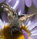 fuzzy headed butterfly or moth on aster - Heliothodes diminutiva