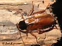 Parcoblatta - Parcoblatta pennsylvanica - female