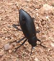 unknown beetle - Eleodes longicollis