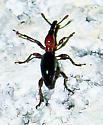 Cylas formicarius (Sweet Potato Weevil) - Cylas formicarius