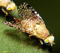 Kissing Flies - Euaresta aequalis - female