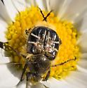 Beetle - Trichiotinus assimilis