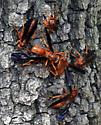 Red Wasp - Polistes rubiginosus