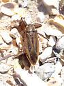 Belostomatidae - Lethocerus uhleri