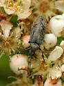 Click beetle sp. - Araeopidius monachus