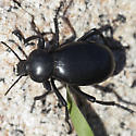 Beetle IMG_6539 - Eleodes grandicollis