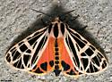 Parthenice Tiger Moth - Grammia parthenice