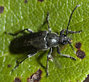 and an all black Cerambycid - Lepturopsis dolorosa