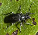 and an all black Cerambycid - Lepturopsis dolorosa