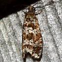 Spruce Needleminer Moth - Taniva albolineana