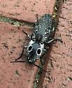 big eye beetle - Alaus oculatus