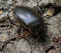 Dytiscidae - Dytiscus