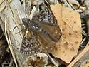 Rocky Mountain Duskywing Butterfly - Erynnis