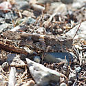 #1 of four grasshoppers - Trimerotropis pallidipennis - male