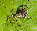 Leaf footed bug nymph - Acanthocephala terminalis