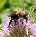 Bee [Ptilothrix bombiformis?] ID Request - Ptilothrix bombiformis - male