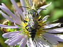 Bee to check out. - Coelioxys rufitarsis