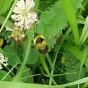 Just can't figure this one out.  - Bombus rufocinctus