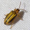 Elm Leaf Beetle. - Xanthogaleruca luteola