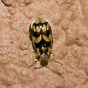 Beetle 2011.06.01.4073 - Capraita obsidiana