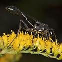 Wasp IMG_1620 - Eremnophila aureonotata