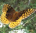 big butterfly - Speyeria cybele - female