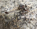 Robber Fly with prey - Efferia - male