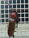Unidentified Click Beetle - Dirrhagofarsus lewisi