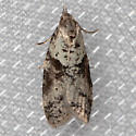 moth - Lotisma trigonana