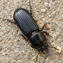 Bess beetle - Odontotaenius disjunctus