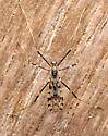 Small crane fly - Erioptera graphica