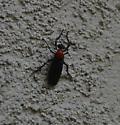 black bug with red head - Plecia - male