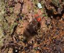 vinegar fly – Chymomyza amoena? - Chymomyza amoena