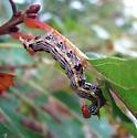 Red-humped Oakworm. Symmerista canicosta. - Symmerista canicosta