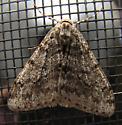 Old entry - Phigalia strigataria - male