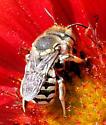 Bee - Anthidium porterae