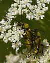Beetles 414A 4814 & 4824 - Lepturobosca chrysocoma - male - female