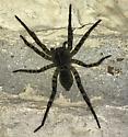 Dolomedes tenebrosus - Tigrosa aspersa - female