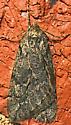 Moth - Paleacrita vernata