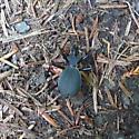 Beetle - Scaphinotus