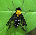 Snipe Fly - Chrysopilus thoracicus